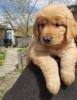 Zlatni retriver i njufaundlender štenci na prodaju