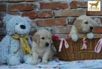 Zlatni retriver prelepi štenci