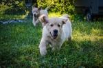 Zlatni retriver, prelepi štenci