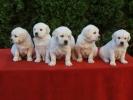 Zlatni Retriver, štenci