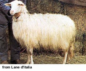 RASE OVACA ZA PROIZVODNjU MLEKA Sardinijska_ovca