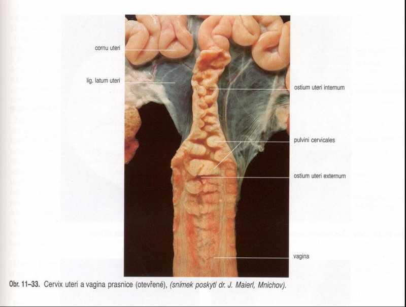 reproduktivnitraktsvinje2.jpg