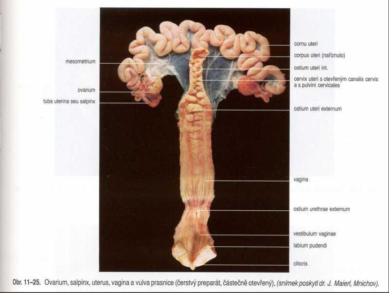 reproduktivnitraktsvinje3.jpg