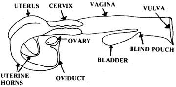 Reproductivetractofthecow.jpg