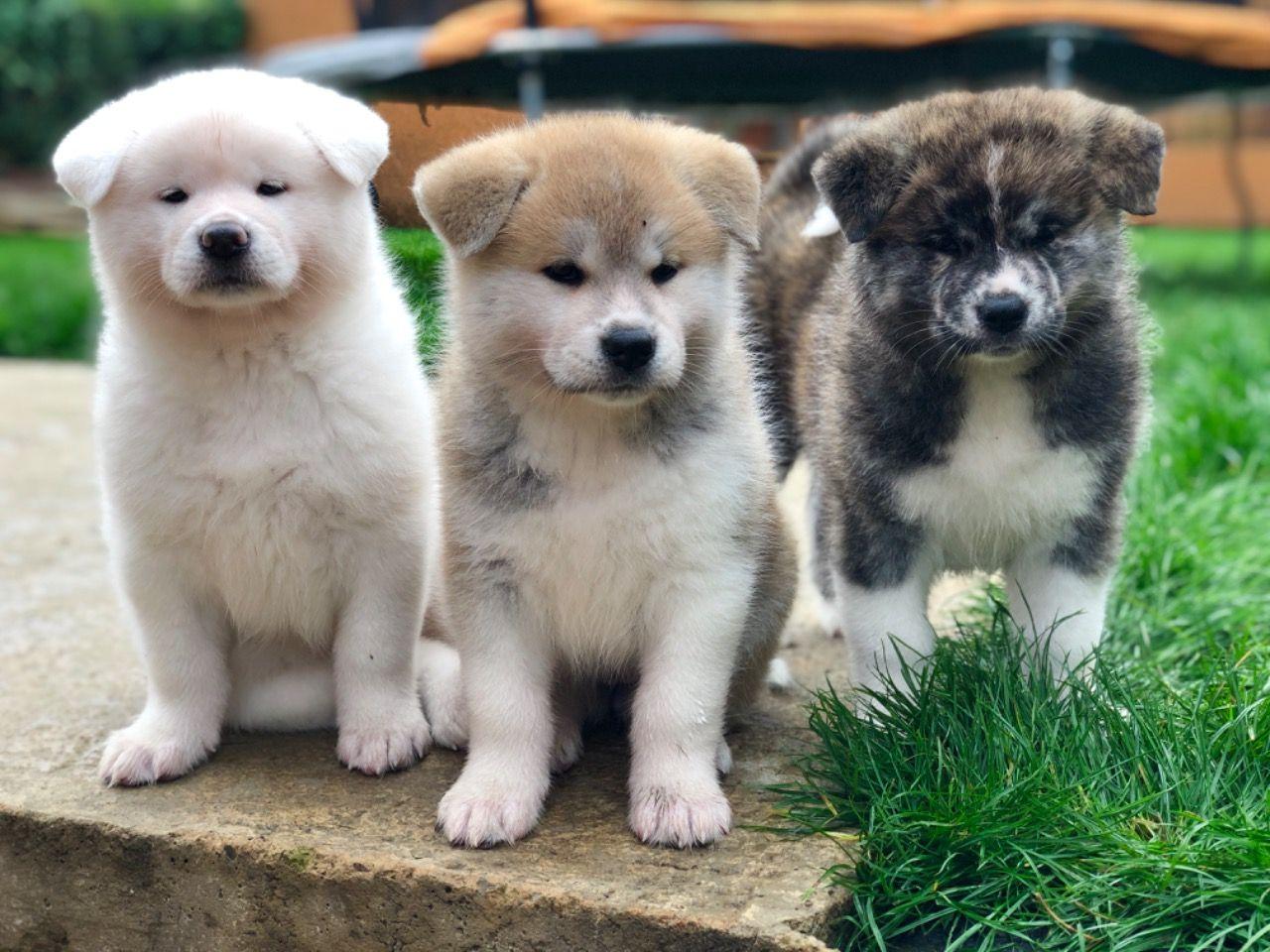 JapaneseAkitaInu-puppies-5da43b1993177.jpg