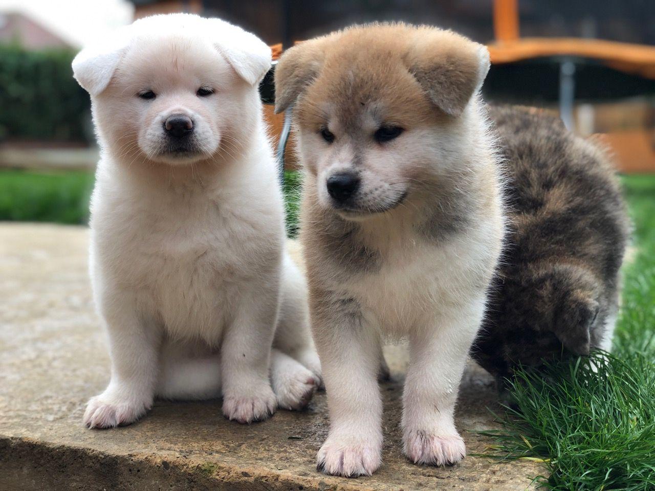 JapaneseAkitaInu-puppies-5da46a639adf9.jpg